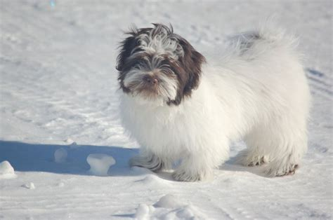 gray havanese top 59 ideas about havanese on dogs home and mugs