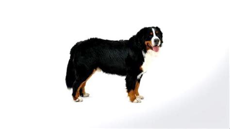 how to a bernese mountain bernese mountain dogs 101 how to stop german shepherd puppy from biting