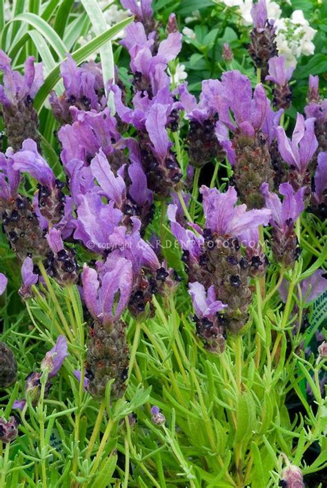 most fragrant lavender plants 1000 images about flowers lavenders lavendula on
