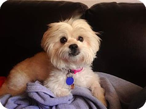 shih tzu rescue in florida samatha adopted miami fl maltese shih tzu mix