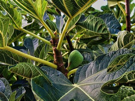 fruit trees adelaide edible izing adelaide free food exchange adelaide