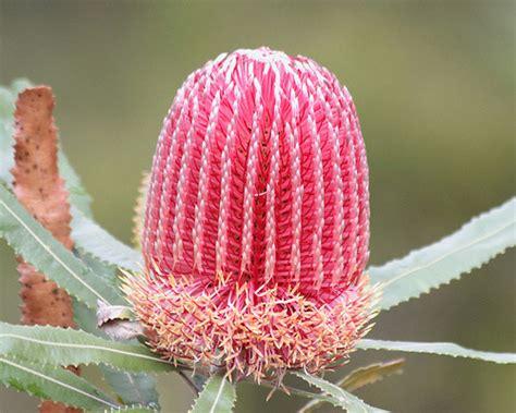 western australia australian native plants nursery the best native plants for western australian gardens