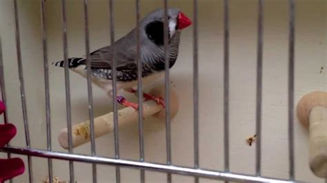 west coast zebra society finch show rare zebra youtube
