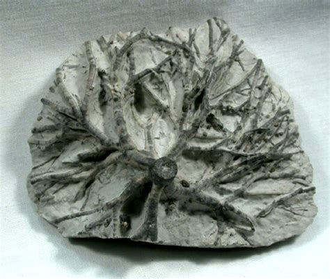 Ammonite Fosil 52 5ct pin 52 fossil road stunning exterior modern rustic
