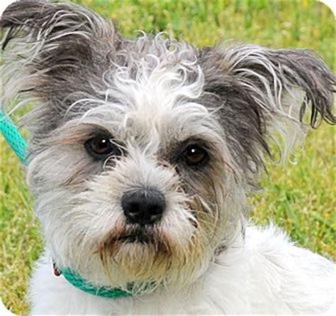 shih tzu rescue ri pookie poo tiny adorable pup adopted wakefield ri shih tzu poodle or