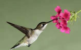 hummingbird flight flower flowers nectar wallpaper