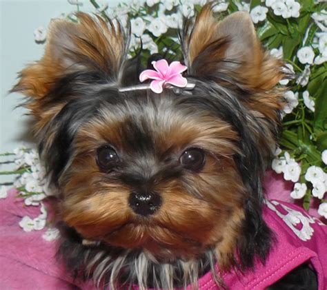baby doll yorkies baby yorkies www pixshark images galleries with a bite