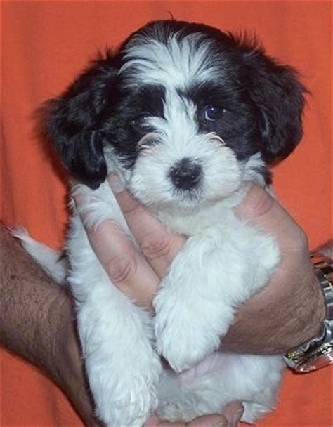 havanese coton mix havaton breed information and pictures