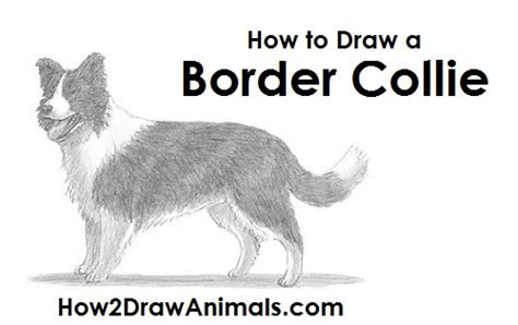 how to a border collie puppy border collie sketch www pixshark images galleries with a bite