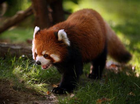 The Panda Wildlife The Wildlife