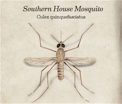 mosquitoes in the house house mosquito facts prevention western exterminator