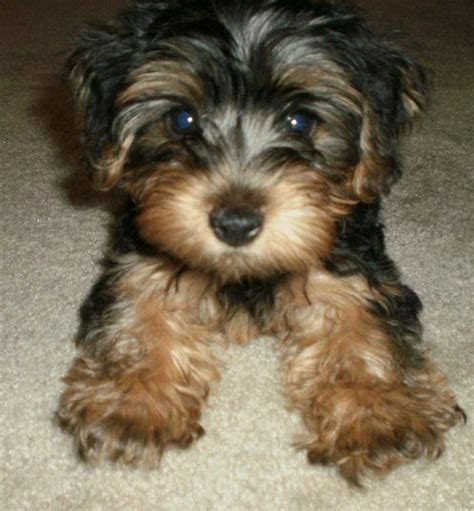 yorkie morkie best 25 morkie puppies ideas on small puppies puppies and puppies