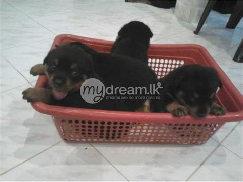 rottweiler sale sri lanka rottweiler puppies for sale animals colombo mydream lk