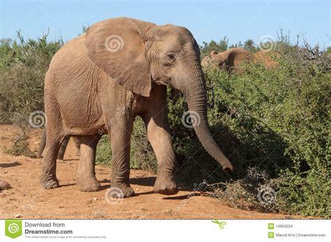 walking sideways elephant walking sideways stock images image 14803234