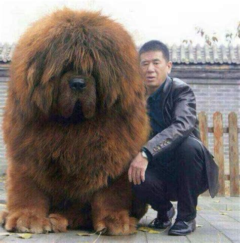 tibetan mastiff puppy best 25 tibetan mastiff puppies ideas on tibetan mastiff big dogs