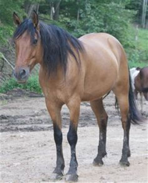 kiger mustang adoption 1000 images about mustangs horses on