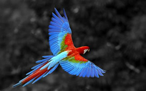 colorful macaw wallpaper 13 beautiful macaw bird hd wallpaper in blue red color