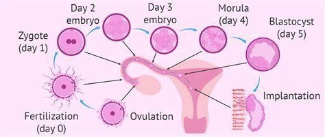 implantation diagram stages of fertilization and implantation www pixshark