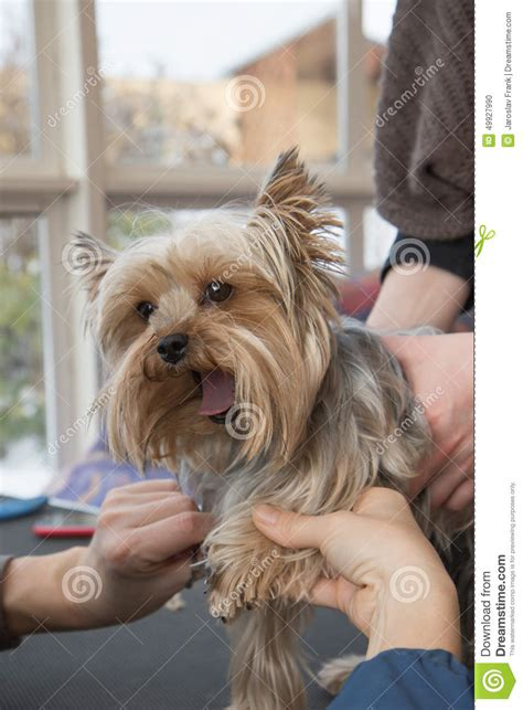 bathing a yorkie puppy grooming terrier stock photo image 49927990