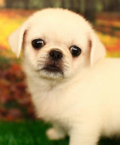 japanese pugs pug and japanese spitz pug mixed breeds japanese spitz pug and i want