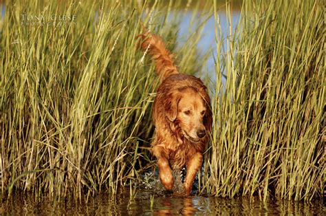 golden retriever grass tony giese professional photographer daytona florida