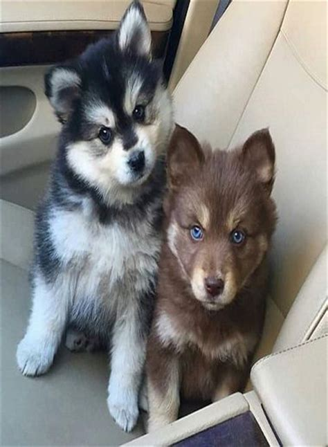 baby husky puppies 1000 ideas about husky puppies on siberian husky puppies husky