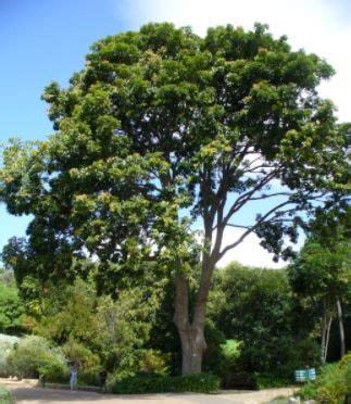 Bibit Alpukat Mentega Tanaman Buah Hidup Benih Bibit Tanaman jual benih bibit tanaman pohon peneduh terbaru bibit