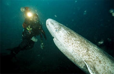 Greenland Sleeper Shark by Fish Index Greenland Shark Somniosus Microcephalus