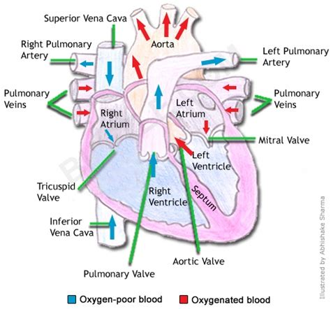 diagram with labels and blood flow human cell diagram