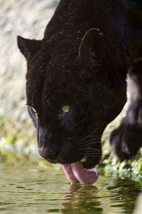 Kaos Black Panther 2 F 024 92 best cheetahs leopards images on animales
