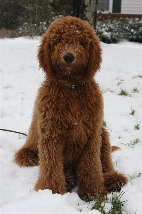 mini doodle rescue uk 25 best ideas about chocolate goldendoodle on