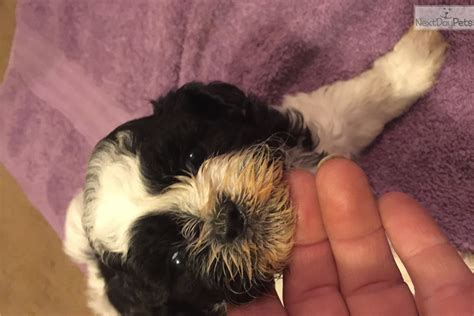 shih tzu for sale in columbia sc valeria black white shih tzu for sale in columbia sc 4397767741