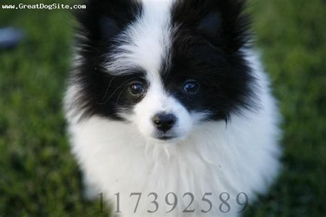 pomeranian ears a photo of a 3months parti pomeranian white with black ears copyright