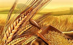 Résultat d'images pour images wheat