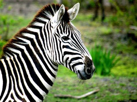 Zebra Free Search Zebra Free Stock Photo Domain Pictures