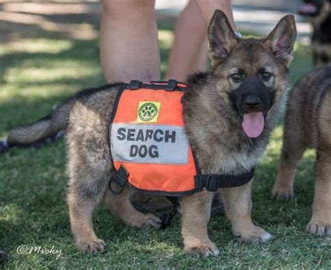 house training a shelter dog san antonio search and rescue animal training facility honors child missing since