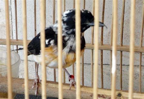 Krodong Lovebird Bukan Murai misteri murai batu blorok 1 dua pemahaman yang berbeda klub burung