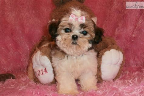 shih tzu puppies springfield mo miss shih tzu puppy for sale near springfield missouri a0ebf0a2 6711