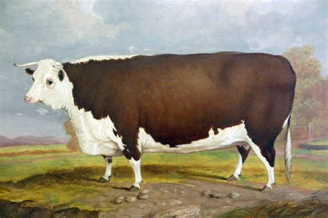 hereford cattle about hereford beef