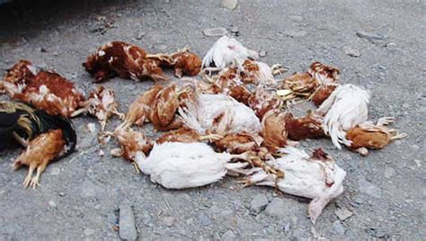 how to kill dogs he had the right to kill dogs says shooter yukon news