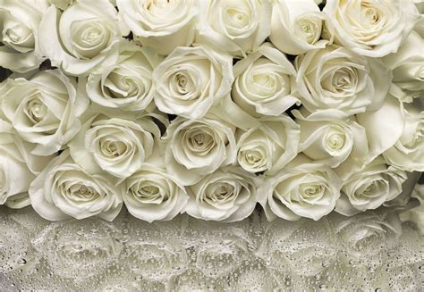 Huge Wall Mural wall mural white roses photo wallpaper 368x254cm flowers
