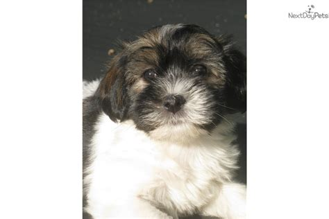 havanese puppies buffalo ny havanese puppy for sale near buffalo new york 886c36ef b071