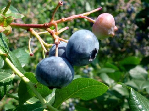 9 fruit norfolk ma blueberry picking season is here in the boston area new