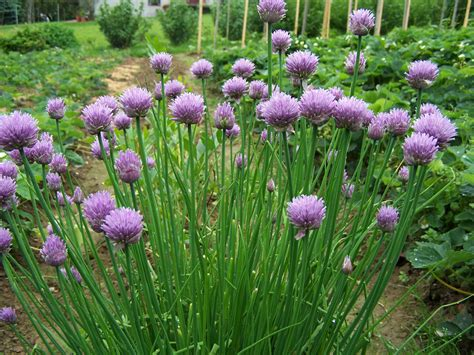 Chive Planters by Chives On Herbs Gardening And Culinary Herb