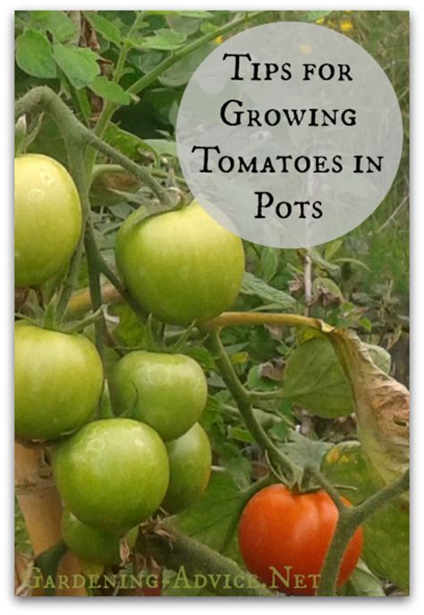 Wall Planter growing tomatoes in pots how to grow tomatoes indoors or