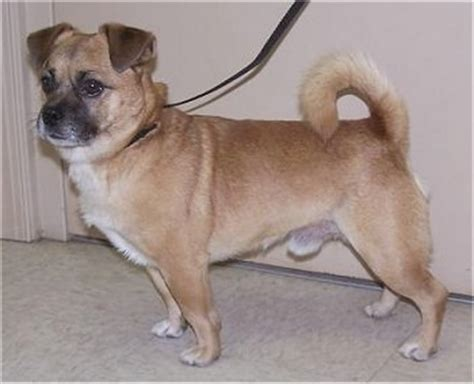 chihuahua mix with pug pug chihuahua mix call it a chug allmutt