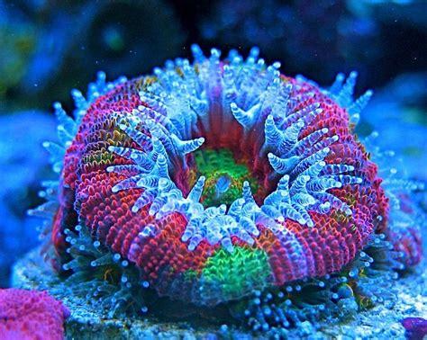 low light corals for sale saltwater coral quick stats care level easy temperament
