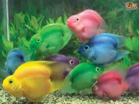 The phenomenon of dyed fish, and how to avoid it   Pets4Homes