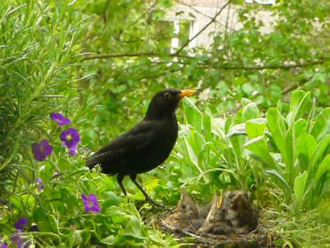 blackbird father feeding babies in the nest stock footage