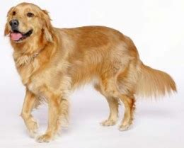 should you shave a golden retriever should you shave dogs to keep them cool